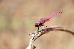 The Red Dragonfly. Close-up of a dragonfly on a branch Royalty Free Stock Image