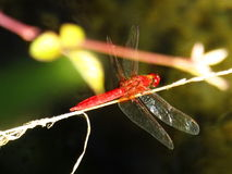 Red Dragonfly on the Adda river. Red dragonfly settled on small twig waiting hunt small pried, nature trasparent wings yellow red eyes white plant on the water Stock Photography
