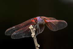 Red dragonfly against black background. Red dragonfly resting against black background Stock Image