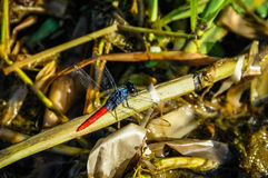 Red dragonfly in the Amazon Rainforest, Manaos, Brazil Stock Images