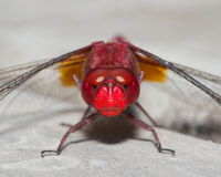 Red dragonfly - Angry face Stock Photos