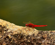 A red dragonfly. Animal green background Royalty Free Stock Photo