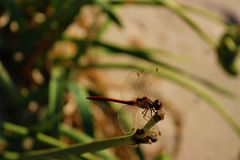 Red dragonfly on the beach with vegetation and fine sand. Red dragonfly on the beach with vegetation and fine sand in the summer royalty free stock image
