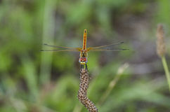 Red Dragonfly. A beautiful dragonfly still on a flower Royalty Free Stock Image