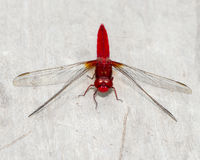 Red dragonfly. Beautiful vivid red dragonfly perched on a wooden railing Stock Photo