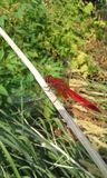 Red dragonfly. Big red dragonfly Stock Image