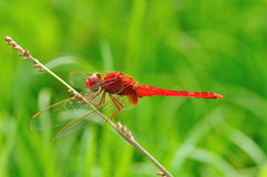 A red dragonfly on a branch. Royalty Free Stock Photo