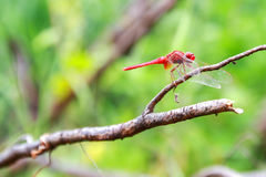 Red Dragonfly on a branch. Stock Photos