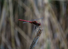 Red dragonfly on a branch Royalty Free Stock Photography