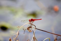 Red dragonfly on a branch royalty free stock photos