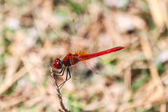 Red dragonfly on a branch on the island of Thassos Stock Image