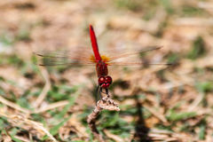 Red dragonfly on a branch on the island of Thassos Royalty Free Stock Image