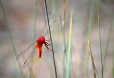 Red dragonfly. Bright red dragonfly perched on a twig.The red-veined darter or nomad[2] & x28;Sympetrum fonscolombii& x29; is a dragonfly of the genus Sympetrum Royalty Free Stock Photography