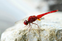 Red dragonfly. Is catching on the stone Stock Photography
