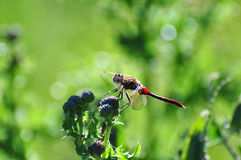 Red dragonfly clings to a plant Royalty Free Stock Photo