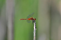 Red dragonfly clings to a stem Royalty Free Stock Image