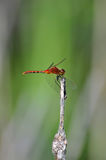 Red dragonfly clings to a stem Stock Image