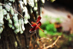 Red dragonfly. Close up of Red dragonfly resting on the branch Stock Photos