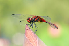 Red dragonfly. The close-up of red dragonfly. Scientific name: Crocothemis servilia Royalty Free Stock Photos