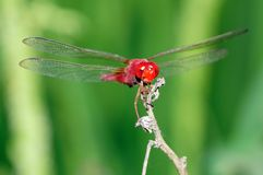 A Red Dragonfly. A close-up of red dragonfly with stretching wings Royalty Free Stock Photos