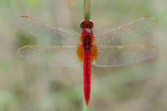 A red dragonfly close-up Stock Photography