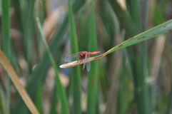 Red dragonfly stock photography