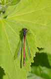 Red Dragonfly closeup. Black dragonfly with red eyes in closeup view Royalty Free Stock Images
