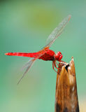 A red dragonfly. Closeup of a beautiful  dragonfly Royalty Free Stock Photography