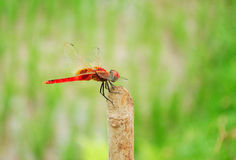 Red Dragonfly. A closeup of a Red colored Dragonfly Royalty Free Stock Photos