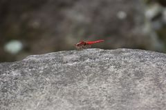 Red dragonfly. / Crocothemis servilia mariannae Royalty Free Stock Image