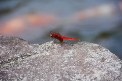 Red dragonfly. / Crocothemis servilia mariannae Stock Photography