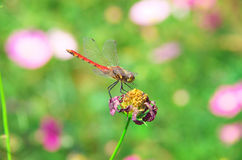 Red dragonfly on a dead flower Royalty Free Stock Photos