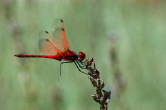 Red dragonfly on dead lavendar Stock Photography