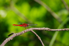 Red dragonfly on dead tree Royalty Free Stock Image