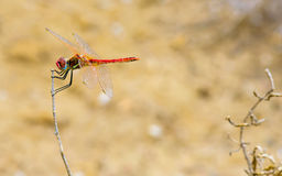 Red Dragonfly on dry innkeeper in autumn.  stock photos