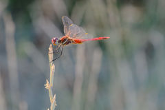 Red dragonfly on dry innkeeper in autumn.  royalty free stock photos