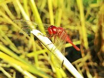 Red Dragonfly in The Field After Rice Harvesting. A red dragonfly is resting on the rice stubble Stock Photo