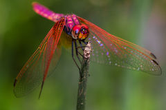 Red dragonfly Royalty Free Stock Photos