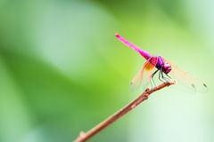 The Red Dragonfly. In forest Stock Image