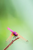 The Red Dragonfly. In forest Stock Photo