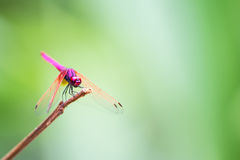 The Red Dragonfly. In forest Stock Photography