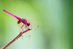 The Red Dragonfly. In forest Royalty Free Stock Photo