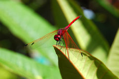 Red Dragonfly in Frangipani Stock Photo