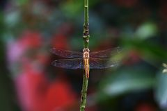 Red dragonfly in the garden royalty free stock image