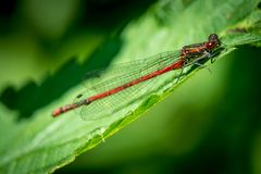 Red Dragonfly on grass. On meadow macro photography royalty free stock photo
