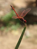 Red dragonfly on grass. Red dragonfly resting its wings on a green blade of grass. Blurry green and brown background Royalty Free Stock Photo