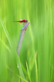 Red dragonfly in grass Stock Image