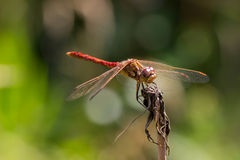 Red dragonfly. On a green background royalty free stock images