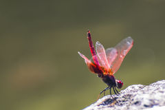 Red Dragonfly. With green background Stock Photo
