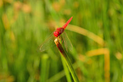 Red dragonfly. With Green Background royalty free stock photo